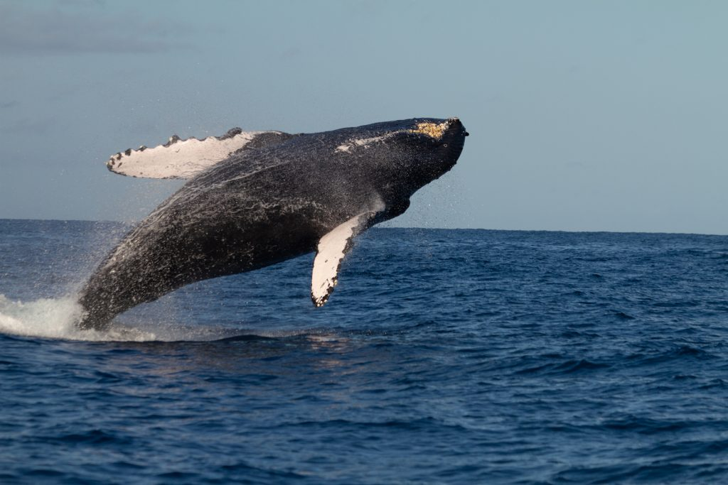 Humpback Whale Breaching off Maui and Lanai